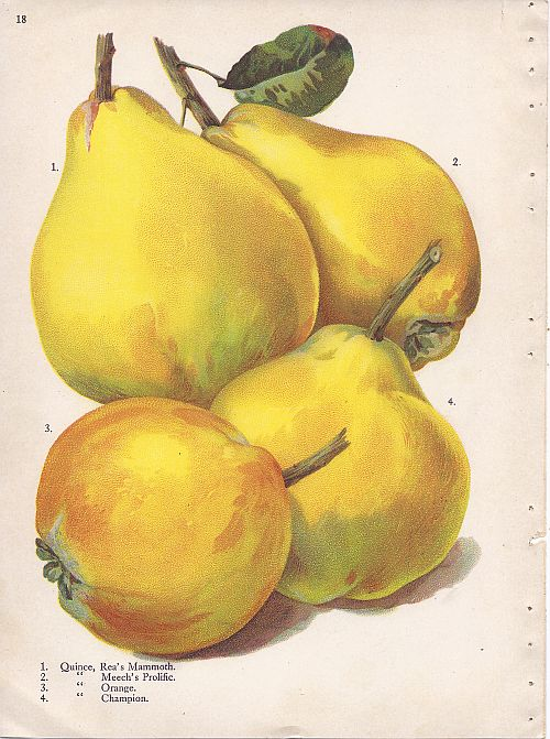 Page_18_quince_-_Rea_Mammoth,_Meechs_Prolific,_Orange,_Champion (1)