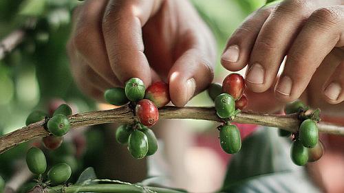 Kávészüret, Kolumbia